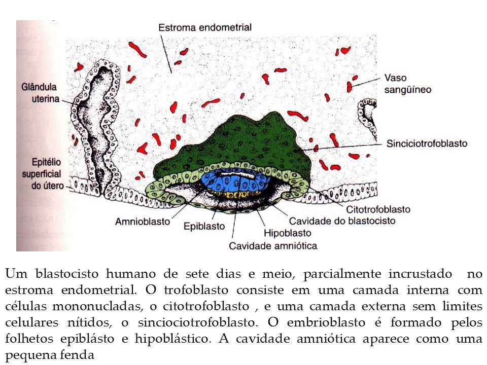 Um blastocisto humano de sete dias e meio, parcialmente incrustado no estroma endometrial. O trofoblasto consiste em uma camada interna com células mo