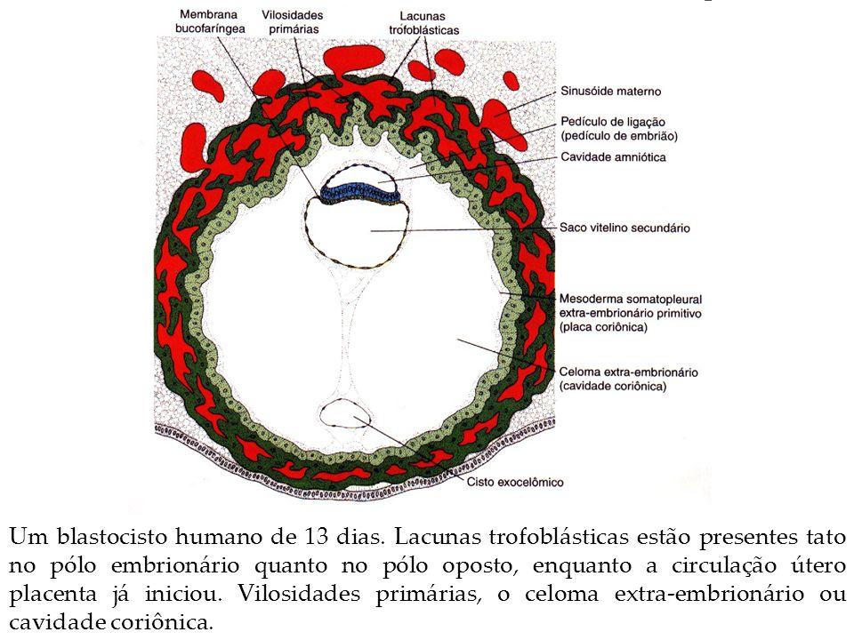 Um blastocisto humano de 13 dias. Lacunas trofoblásticas estão presentes tato no pólo embrionário quanto no pólo oposto, enquanto a circulação útero p
