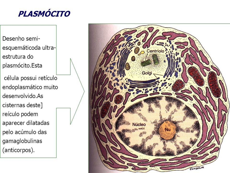 PLASMÓCITO Desenho semi- esquemáticoda ultra- estrutura do plasmócito.Esta célula possui retículo endoplasmático muito desenvolvido.As cisternas deste