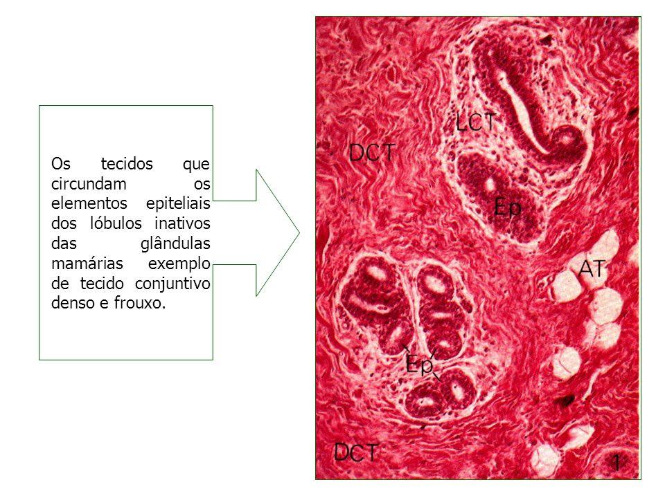 Os tecidos que circundam os elementos epiteliais dos lóbulos inativos das glândulas mamárias exemplo de tecido conjuntivo denso e frouxo.