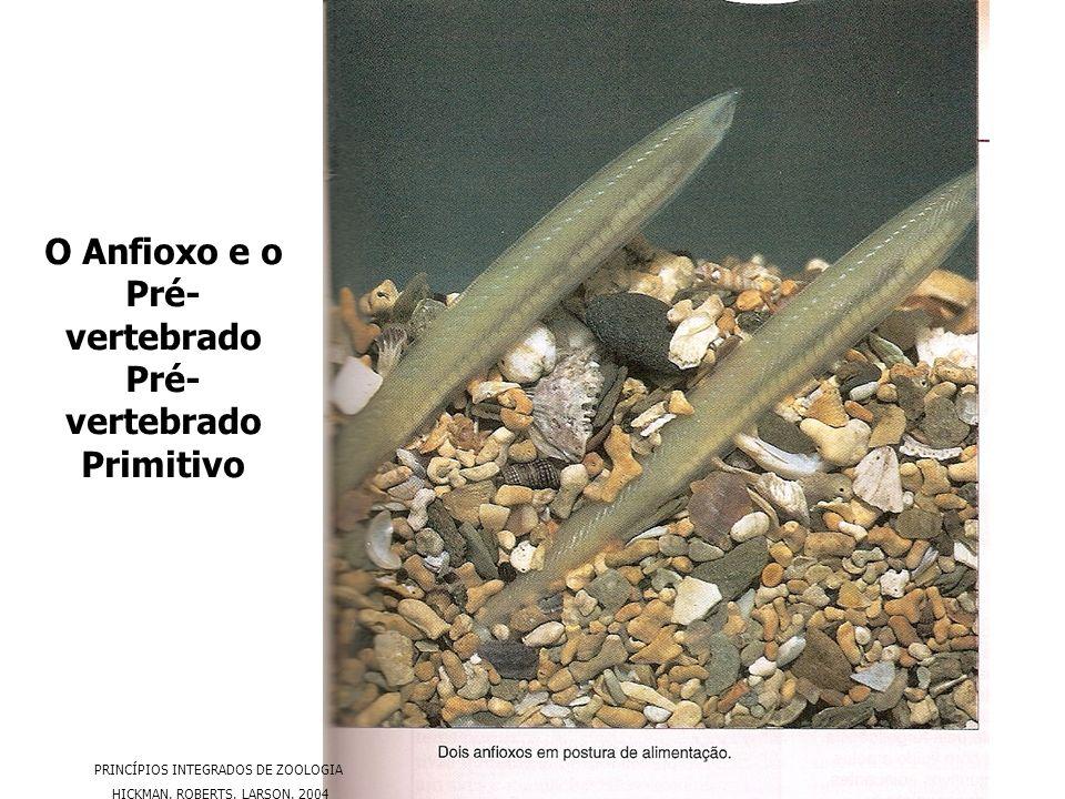 O Anfioxo e o Pré- vertebrado Pré- vertebrado Primitivo PRINCÍPIOS INTEGRADOS DE ZOOLOGIA HICKMAN. ROBERTS. LARSON. 2004