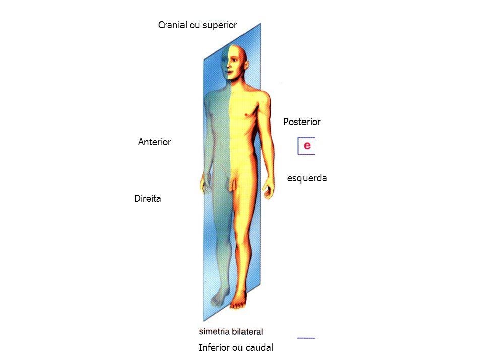 Posterior Anterior Inferior ou caudal Cranial ou superior esquerda Direita