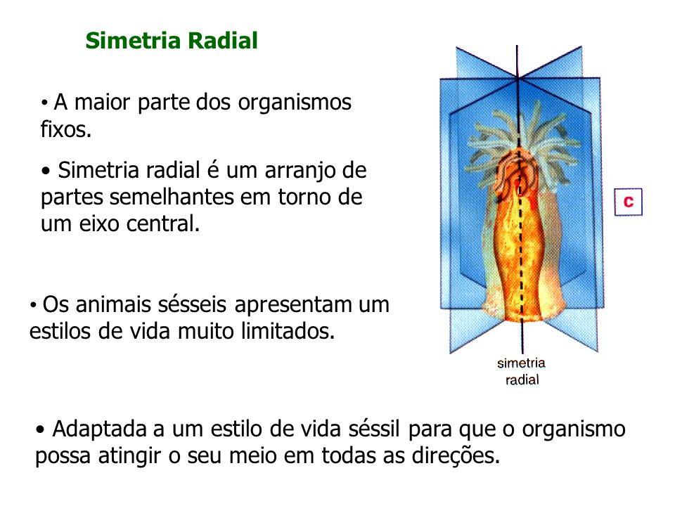 Simetria Radial A maior parte dos organismos fixos. Simetria radial é um arranjo de partes semelhantes em torno de um eixo central. Adaptada a um esti