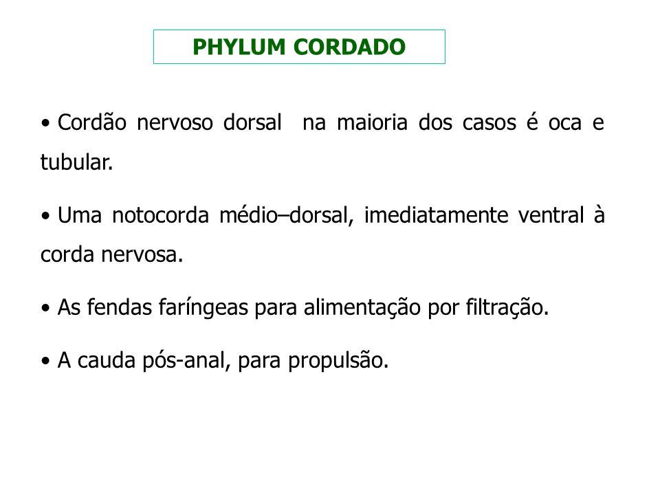 PHYLUM CORDADO Cordão nervoso dorsal na maioria dos casos é oca e tubular. Uma notocorda médio–dorsal, imediatamente ventral à corda nervosa. As fenda