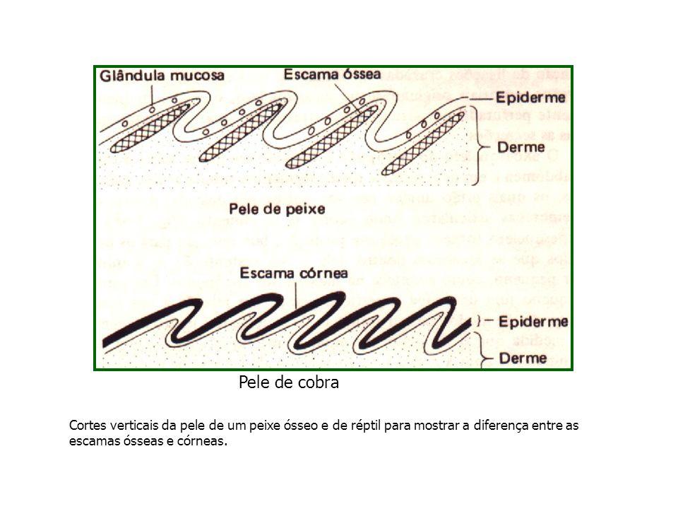 Cortes verticais da pele de um peixe ósseo e de réptil para mostrar a diferença entre as escamas ósseas e córneas. Pele de cobra