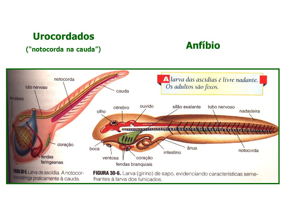 Urocordados (notocorda na cauda) Anfíbio
