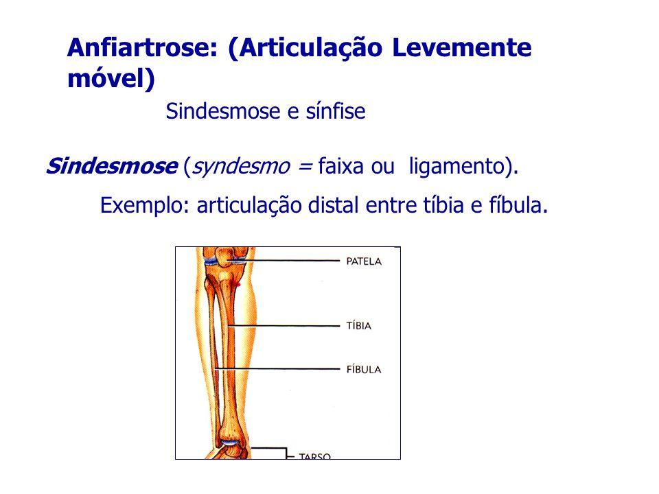 Anfiartrose: (Articulação Levemente móvel) Sindesmose e sínfise Sindesmose (syndesmo = faixa ou ligamento). Exemplo: articulação distal entre tíbia e