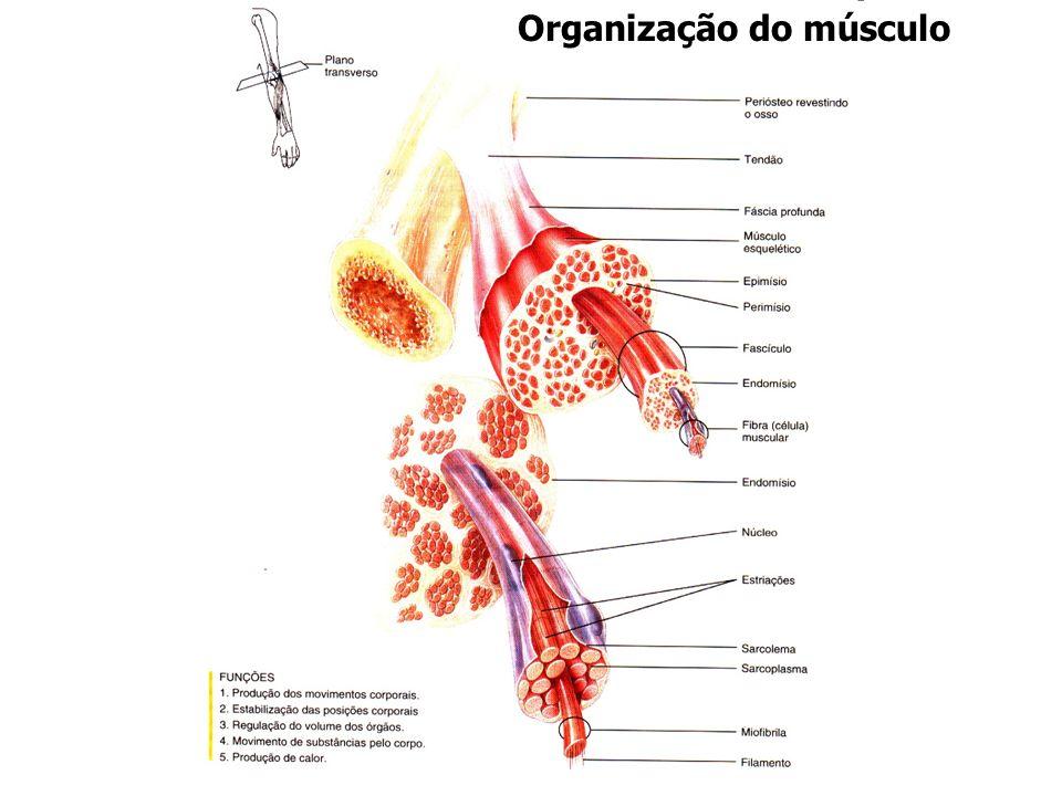 Organização do músculo