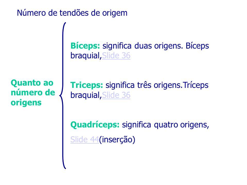Quanto ao número de origens Número de tendões de origem Bíceps: significa duas origens. Bíceps braquial,Slide 36Slide 36 Triceps: significa três orige