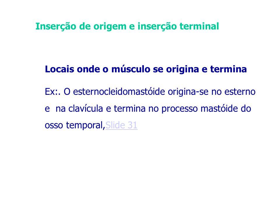 Inserção de origem e inserção terminal Locais onde o músculo se origina e termina Ex:. O esternocleidomastóide origina-se no esterno e na clavícula e
