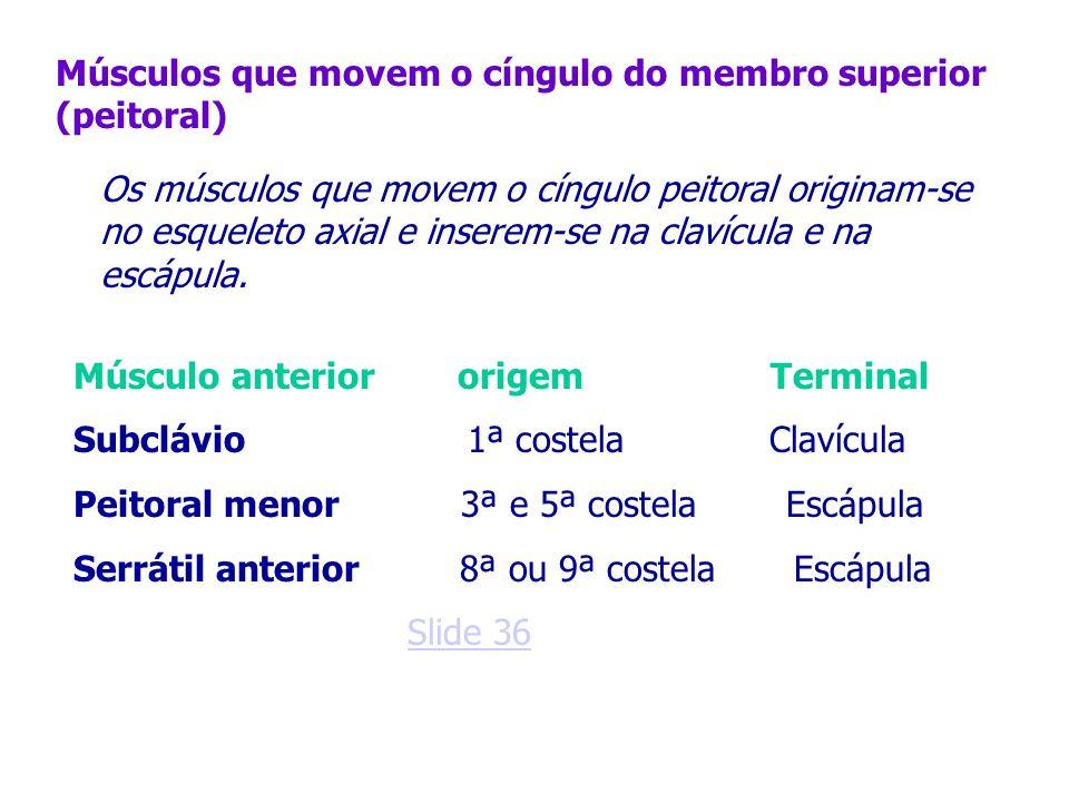 Músculos que movem o cíngulo do membro superior (peitoral) Os músculos que movem o cíngulo peitoral originam-se no esqueleto axial e inserem-se na cla