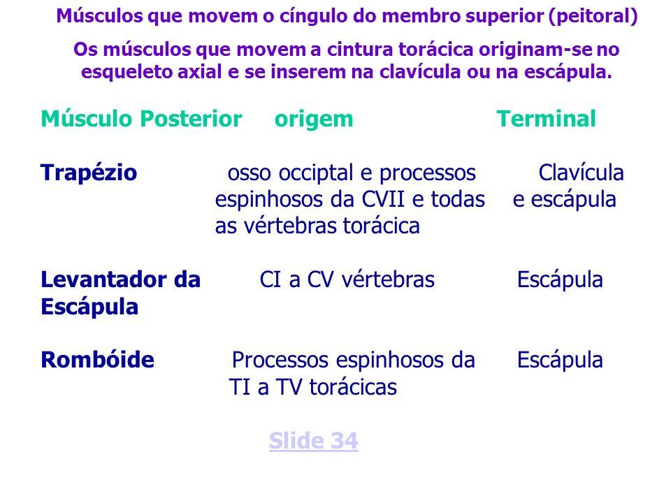 Músculo Posterior origem Terminal Trapézio osso occiptal e processos Clavícula espinhosos da CVII e todas e escápula as vértebras torácica Levantador