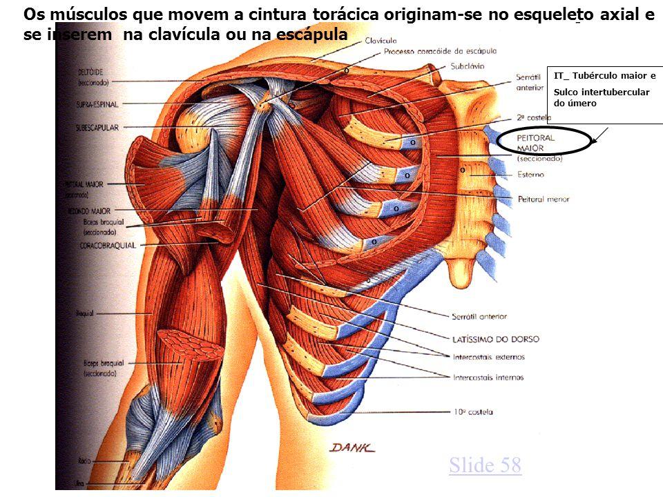 o o o o o o o IT_ Tubérculo maior e Sulco intertubercular do úmero Os músculos que movem a cintura torácica originam-se no esqueleto axial e se insere