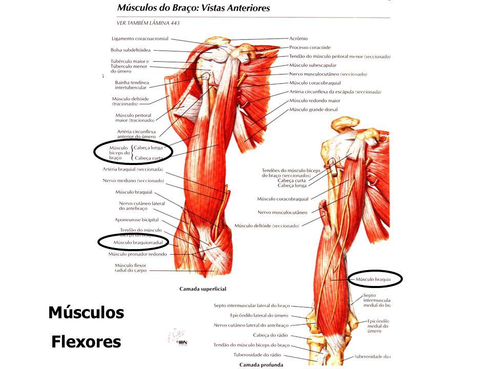Músculos Flexores