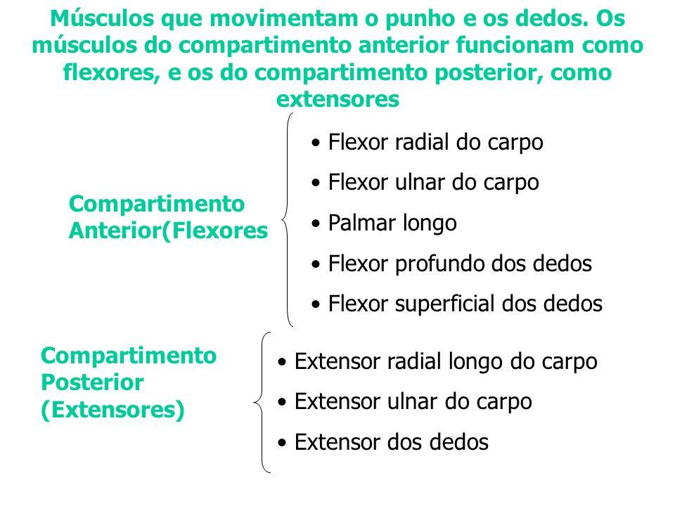 Músculos que movimentam o punho e os dedos. Os músculos do compartimento anterior funcionam como flexores, e os do compartimento posterior, como exten