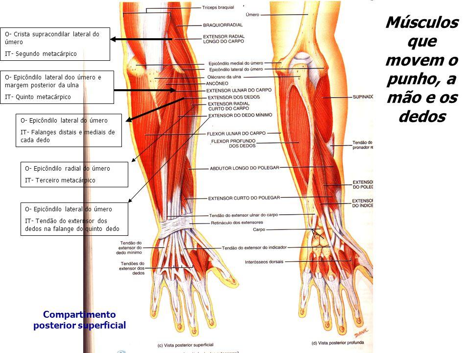 O- Crista supracondilar lateral do úmero IT- Segundo metacárpico O- Epicôndilo lateral doo úmero e margem posterior da ulna IT- Quinto metacárpico O-