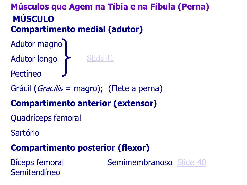 Músculos que Agem na Tíbia e na Fíbula (Perna) MÚSCULO Compartimento medial (adutor) Adutor magno Adutor longo Pectíneo Grácil (Gracilis = magro); (Fl