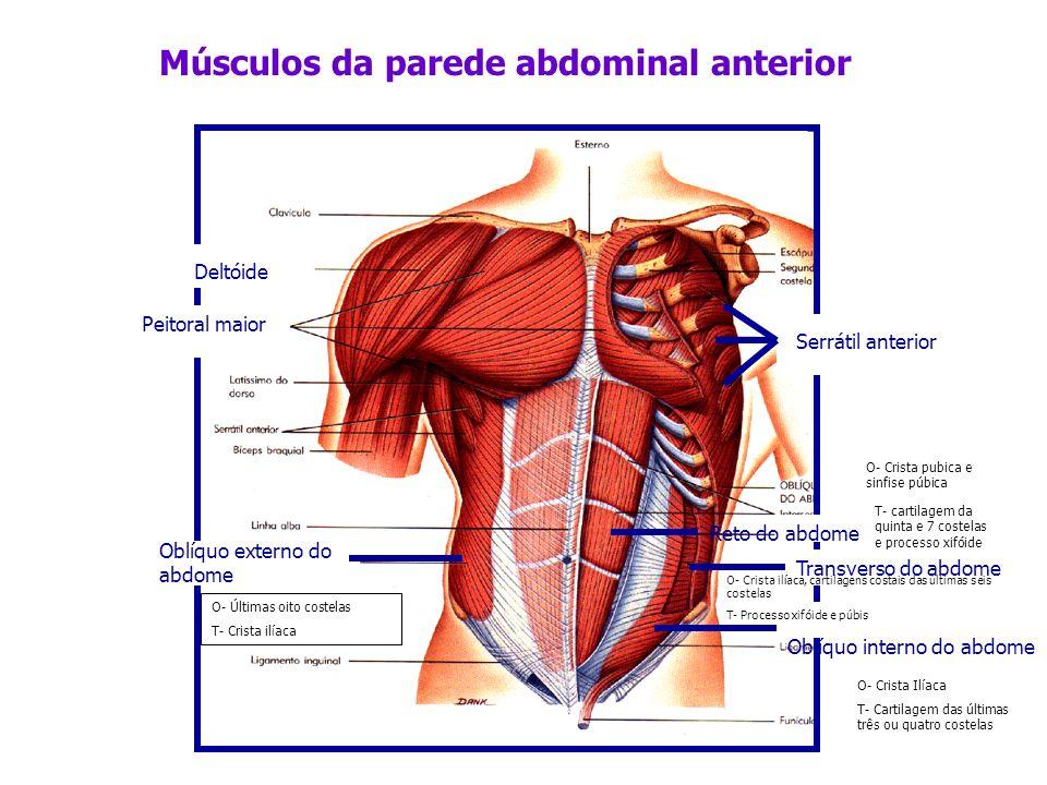 Reto do abdome Transverso do abdome Oblíquo interno do abdome Oblíquo externo do abdome Músculos da parede abdominal anterior Deltóide Serrátil anteri