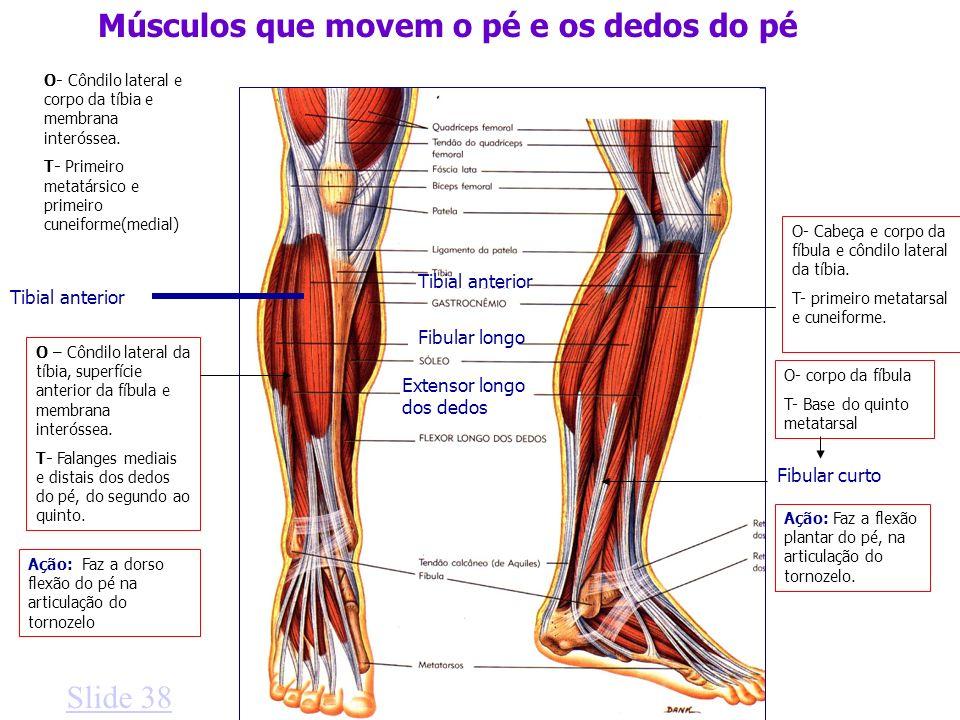 Tibial anterior Músculos que movem o pé e os dedos do pé Extensor longo dos dedos Fibular longo Tibial anterior Slide 38 O- Côndilo lateral e corpo da