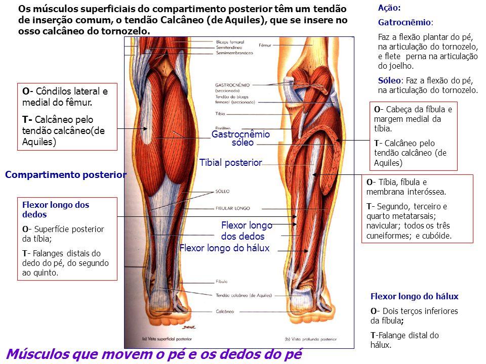 Músculos que movem o pé e os dedos do pé Gastrocnêmio sóleo Tibial posterior Flexor longo dos dedos Compartimento posterior Ação: Gatrocnêmio: Faz a f