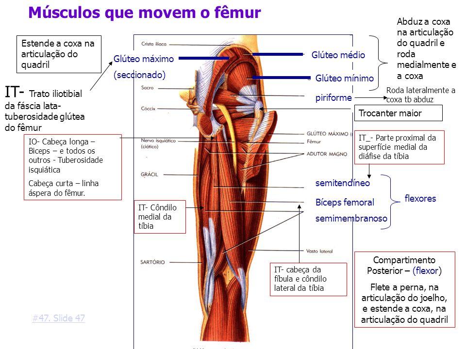 Glúteo médio Glúteo máximo (seccionado) Glúteo mínimo Músculos que movem o fêmur piriforme semitendíneo Bíceps femoral semimembranoso flexores Estende