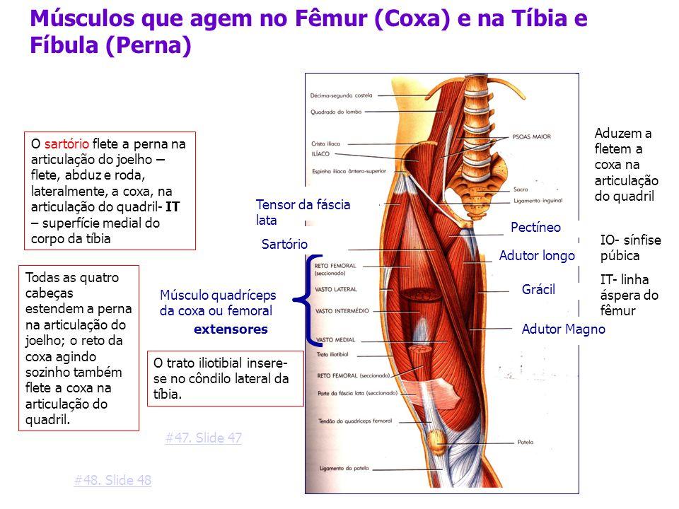 Músculos que agem no Fêmur (Coxa) e na Tíbia e Fíbula (Perna) Adutor longo Músculo quadríceps da coxa ou femoral Tensor da fáscia lata Adutor Magno Pe