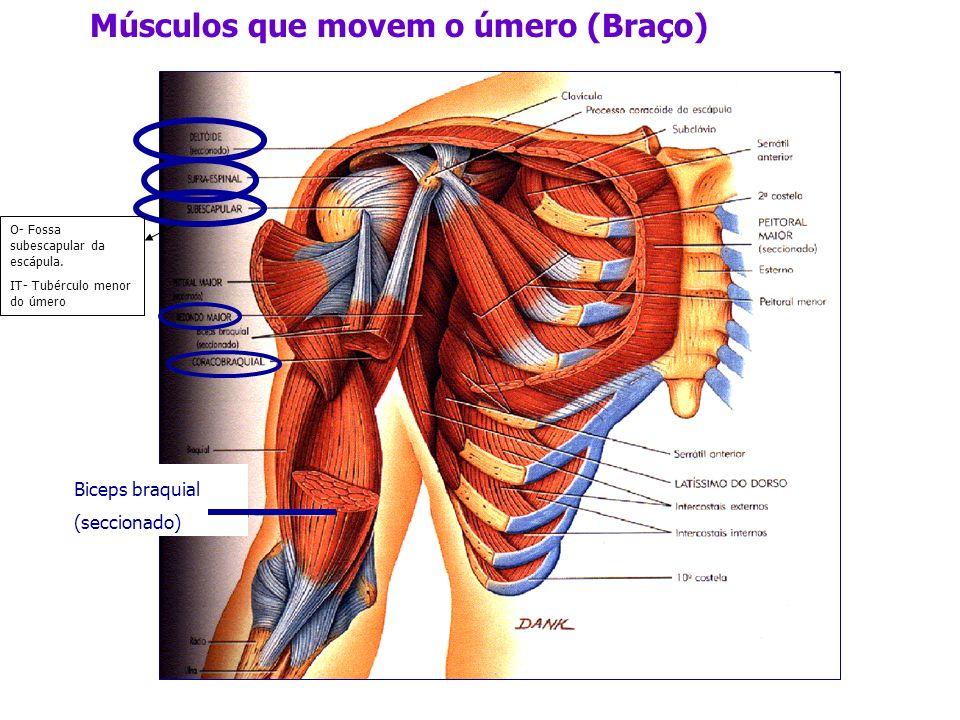 Biceps braquial (seccionado) Músculos que movem o úmero (Braço) O- Fossa subescapular da escápula. IT- Tubérculo menor do úmero