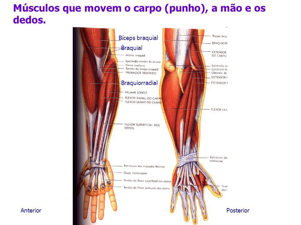 Músculos que movem o carpo (punho), a mão e os dedos. Braquiorradial AnteriorPosterior Bíceps braquial Braquial