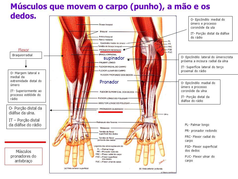 Músculos que movem o carpo (punho), a mão e os dedos. supinador Pronador Braquiorradial O- Margem lateral e medial da extremidade distal do úmero IT-
