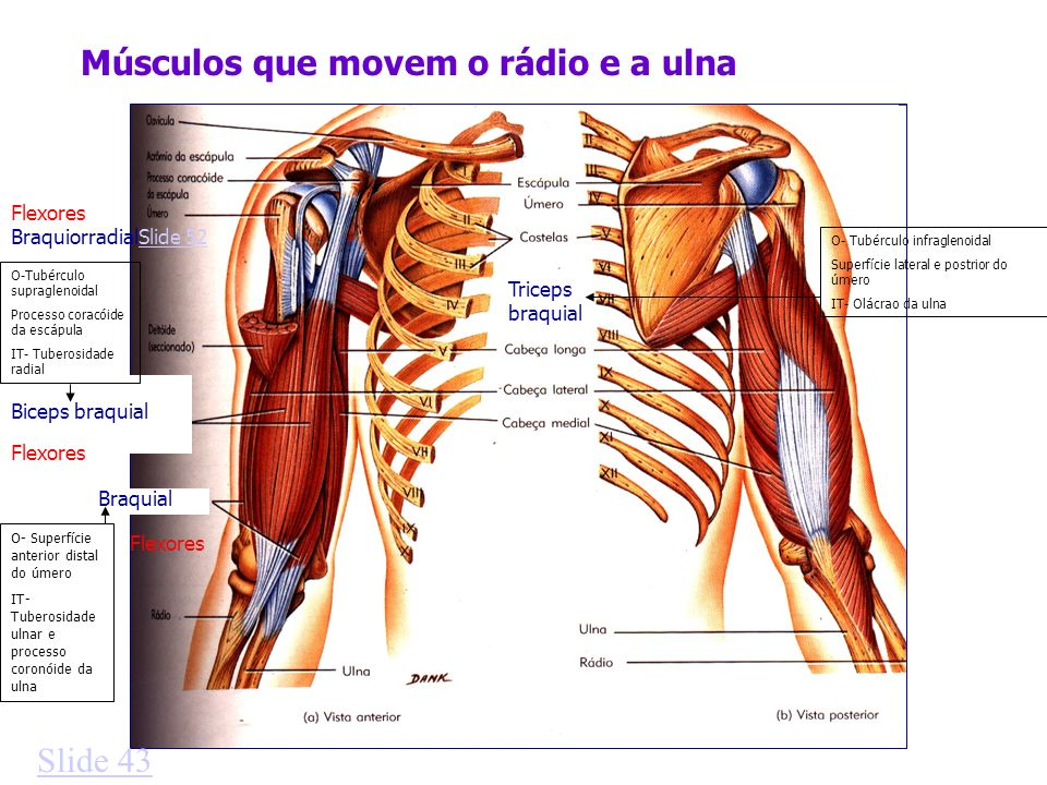 Músculos que movem o rádio e a ulna Triceps braquial Biceps braquial Braquial Slide 43 O-Tubérculo supraglenoidal Processo coracóide da escápula IT- Tuberosidade radial O- Tubérculo infraglenoidal Superfície lateral e postrior do úmero IT- Olácrao da ulna O- Superfície anterior distal do úmero IT- Tuberosidade ulnar e processo coronóide da ulna BraquiorradialSlide 52Slide 52 Flexores