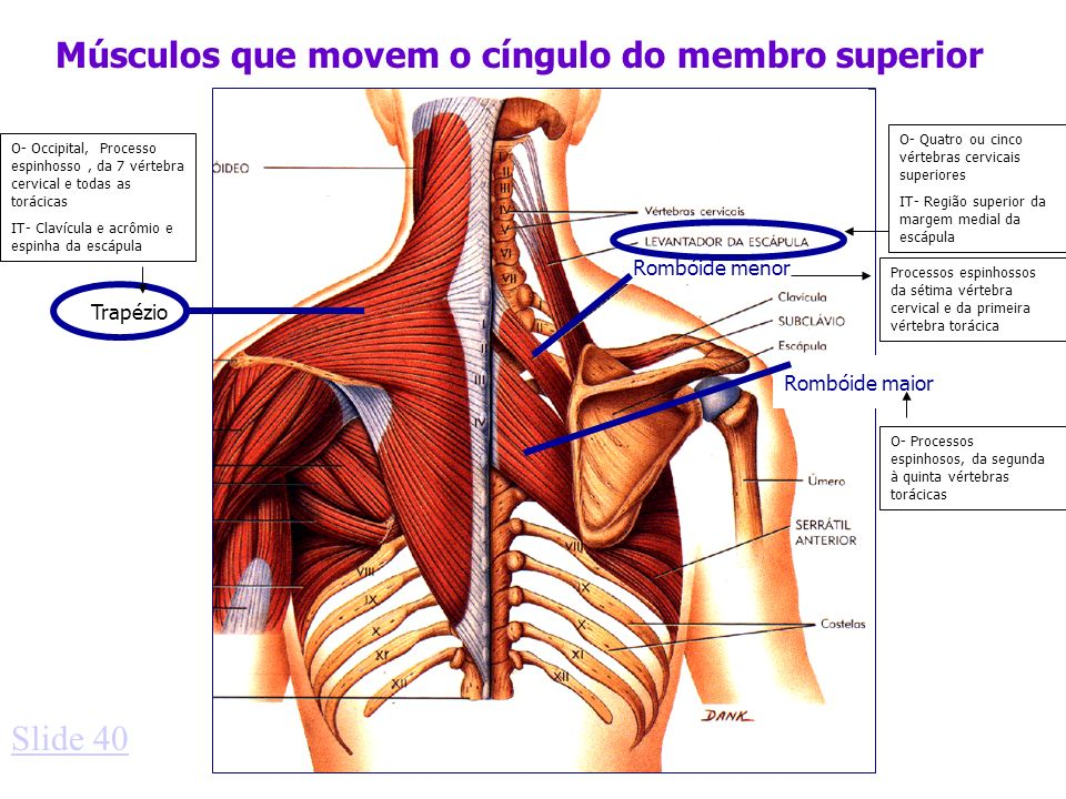 Músculos que movem o cíngulo do membro superior Trapézio Rombóide menor Rombóide maior Slide 40 O- Occipital, Processo espinhosso, da 7 vértebra cervi