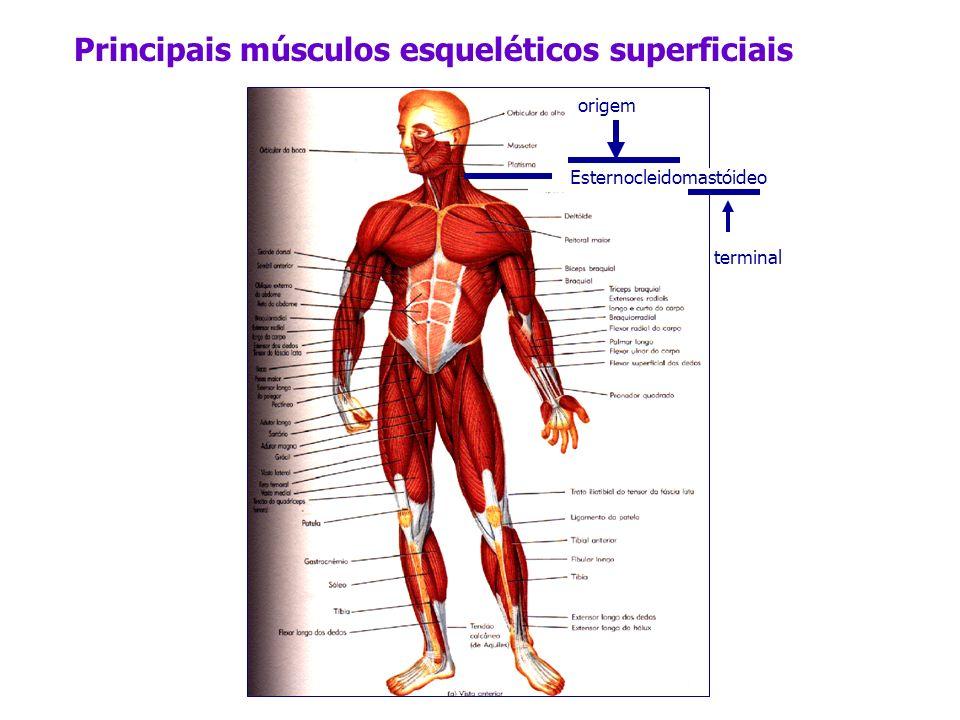 Principais músculos esqueléticos superficiais Esternocleidomastóideo origem terminal