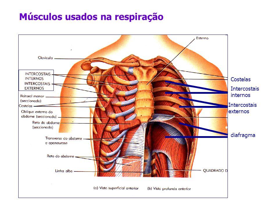 Costelas Intercostais internos Intercostais externos Músculos usados na respiração diafragma