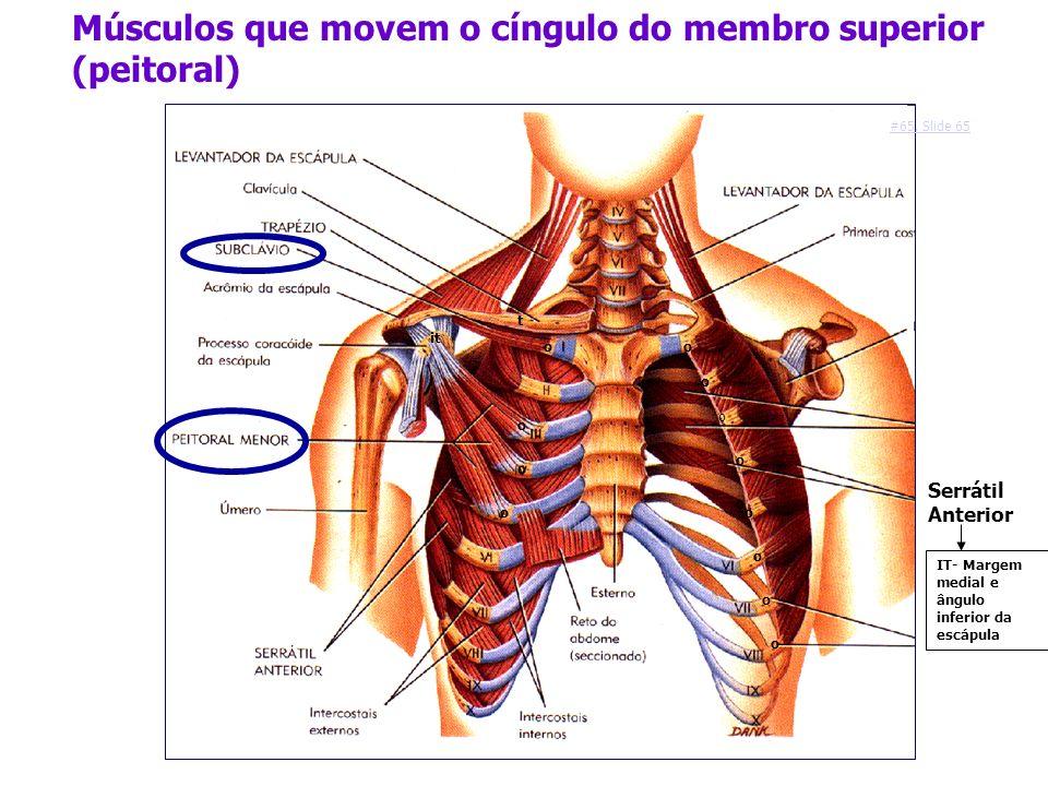 Músculos que movem o cíngulo do membro superior (peitoral) o t o o o it Serrátil Anterior o o o o o o o o o IT- Margem medial e ângulo inferior da esc