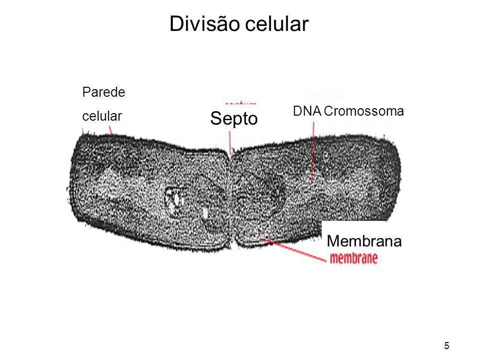 5 Divisão celular Parede celular Septo Membrana DNA Cromossoma