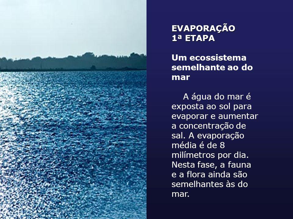 EVAPORAÇÃO 1ª ETAPA Um ecossistema semelhante ao do mar A água do mar é exposta ao sol para evaporar e aumentar a concentração de sal. A evaporação mé