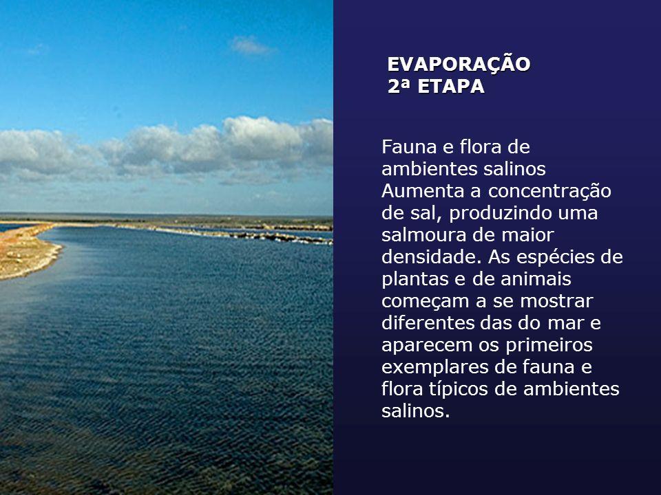 EVAPORAÇÃO 2ª ETAPA Fauna e flora de ambientes salinos Aumenta a concentração de sal, produzindo uma salmoura de maior densidade. As espécies de plant