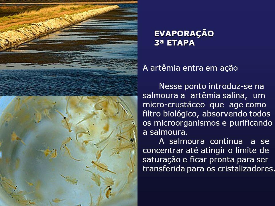 EVAPORAÇÃO 3ª ETAPA A artêmia entra em ação Nesse ponto introduz-se na salmoura a artêmia salina, um micro-crustáceo que age como filtro biológico, ab