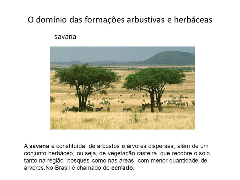 O domínio das formações arbustivas e herbáceas savana A savana é constituída de arbustos e árvores dispersas, além de um conjunto herbáceo, ou seja, d