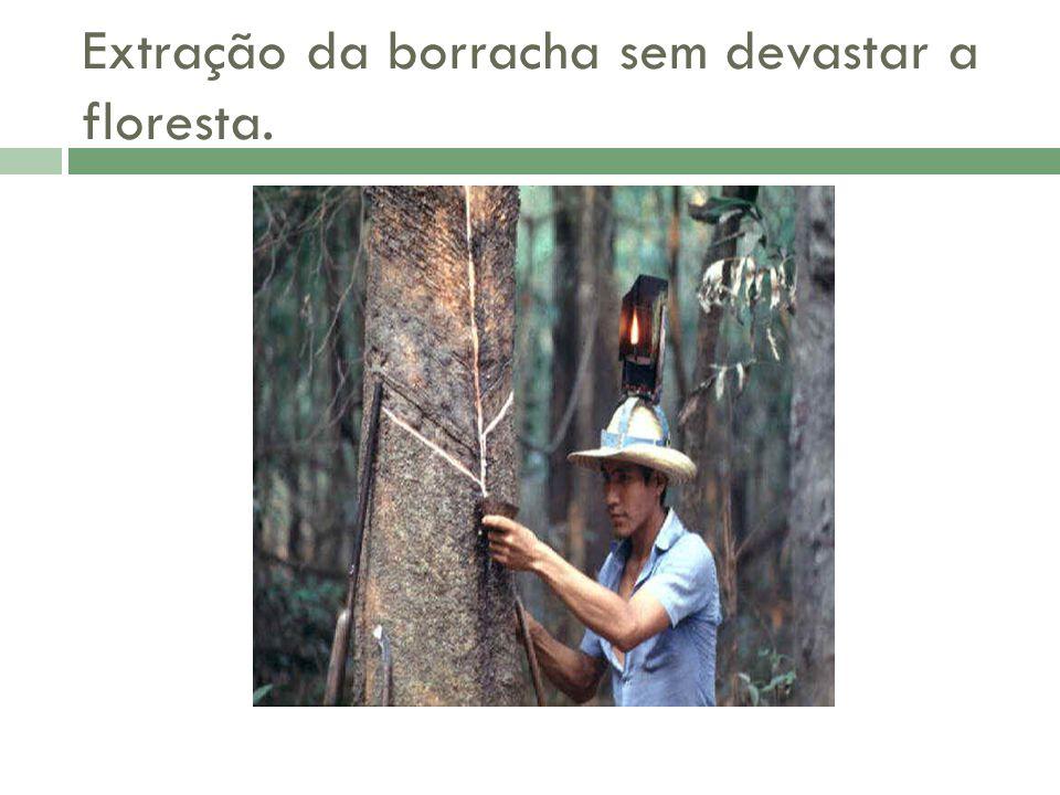 Extração da borracha sem devastar a floresta.