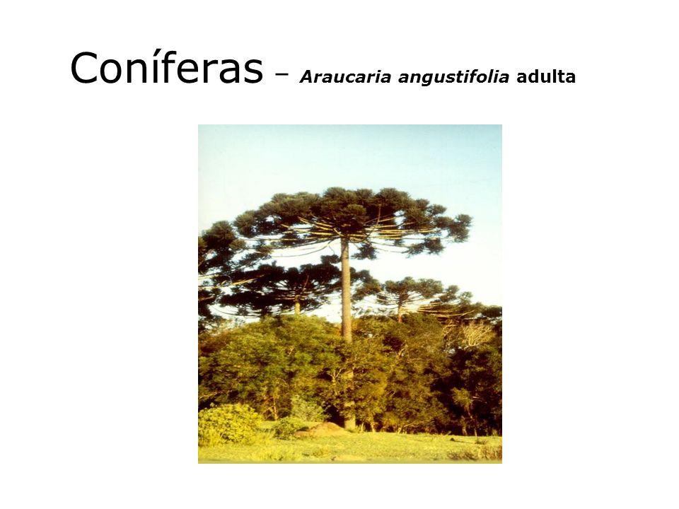 Coníferas – Araucaria angustifolia adulta