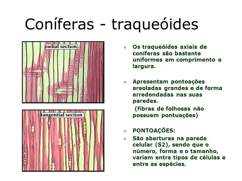 Coníferas - traqueóides n Os traqueóides axiais de coníferas são bastante uniformes em comprimento e largura. n Apresentam pontoações areoladas grande