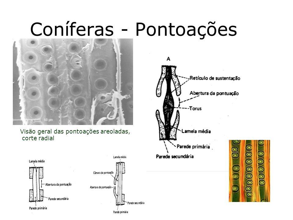 Coníferas - Pontoações Visão geral das pontoações areoladas, corte radial