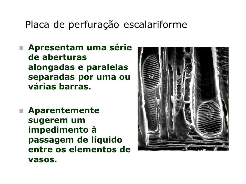 Placa de perfuração escalariforme n Apresentam uma série de aberturas alongadas e paralelas separadas por uma ou várias barras. n Aparentemente sugere