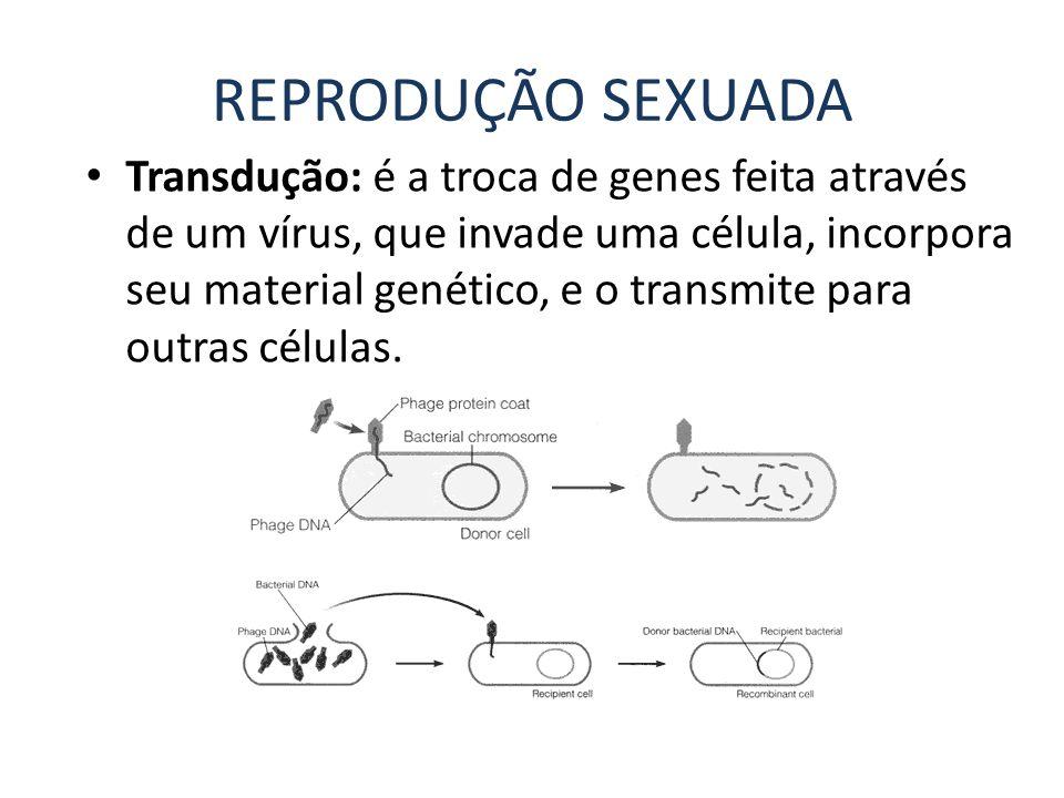 REPRODUÇÃO SEXUADA Transdução: é a troca de genes feita através de um vírus, que invade uma célula, incorpora seu material genético, e o transmite par