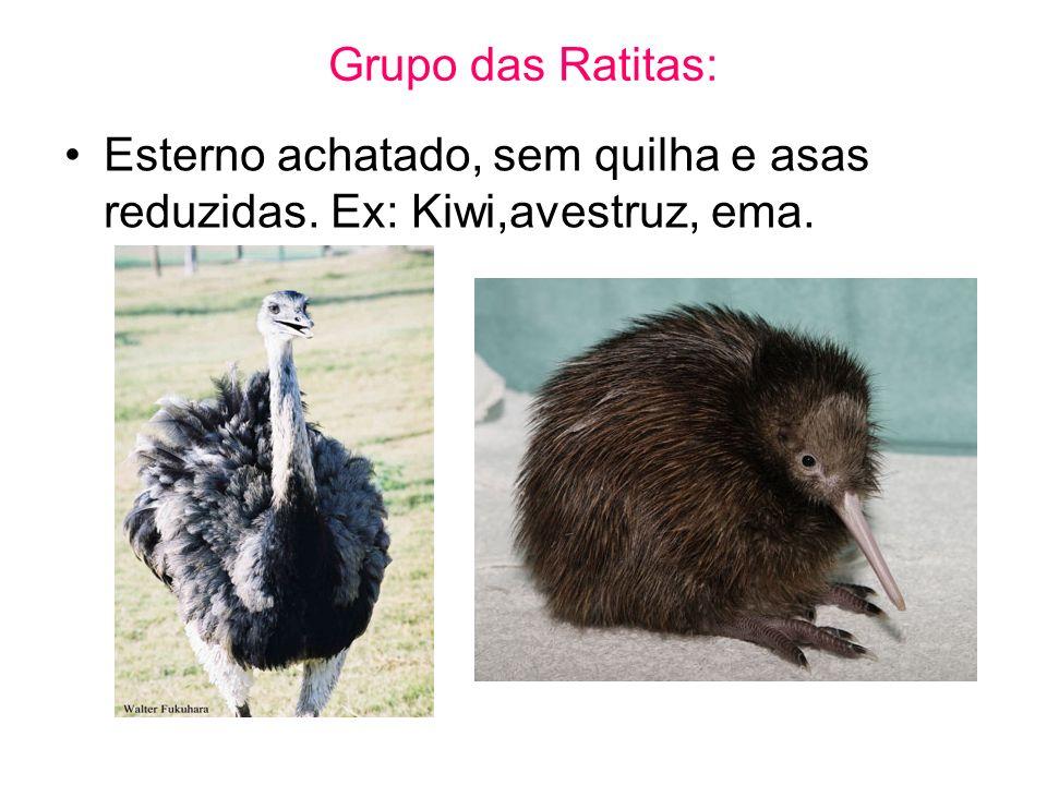 Grupo das Ratitas: Esterno achatado, sem quilha e asas reduzidas. Ex: Kiwi,avestruz, ema.