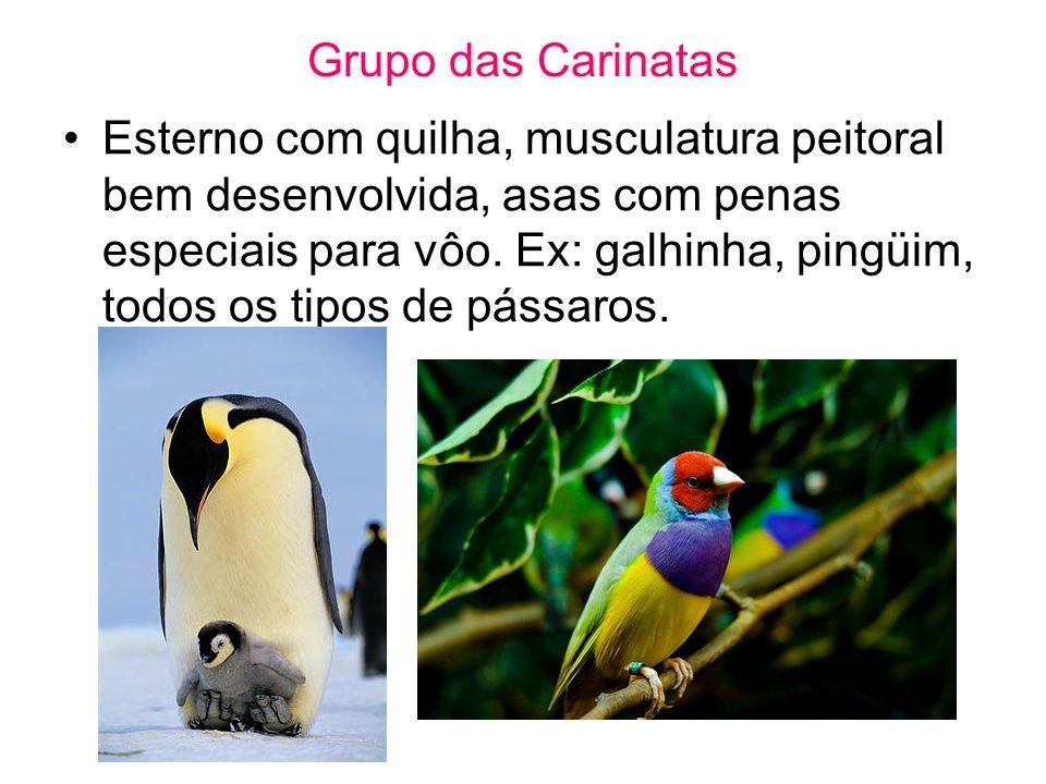 Grupo das Carinatas Esterno com quilha, musculatura peitoral bem desenvolvida, asas com penas especiais para vôo. Ex: galhinha, pingüim, todos os tipo