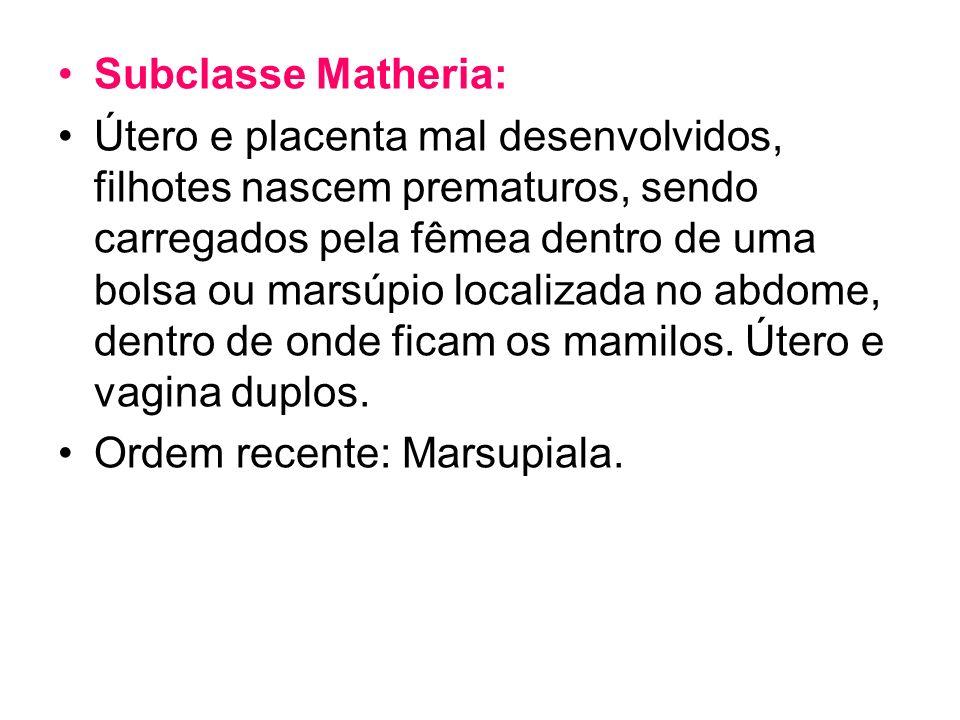Subclasse Matheria: Útero e placenta mal desenvolvidos, filhotes nascem prematuros, sendo carregados pela fêmea dentro de uma bolsa ou marsúpio locali