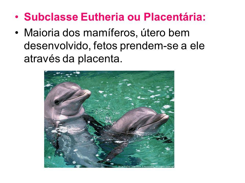 Subclasse Eutheria ou Placentária: Maioria dos mamíferos, útero bem desenvolvido, fetos prendem-se a ele através da placenta.