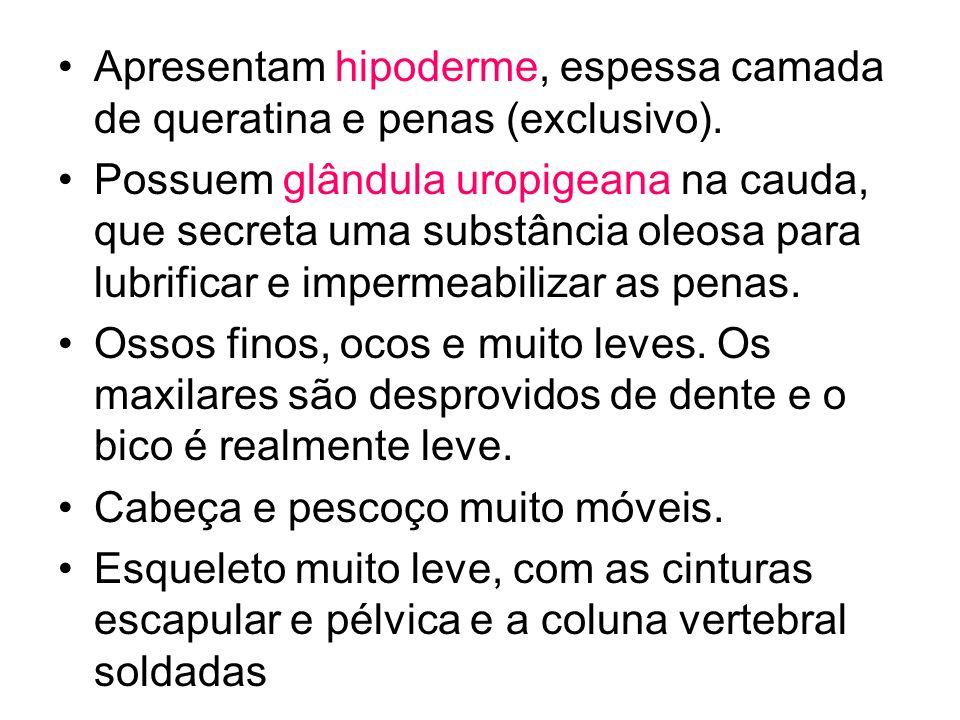 Apresentam hipoderme, espessa camada de queratina e penas (exclusivo). Possuem glândula uropigeana na cauda, que secreta uma substância oleosa para lu
